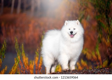 A large white Samoyed dog stands in a beautiful forest.