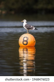 Large white seagull bird standing on bright orange buoy floating in lake with water reflection. Number 8 on the side marking reservoir out for boats.