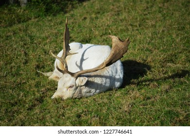 large white stag