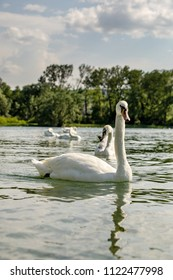 Large white swan swimming on Lake Canstance, with more swans in the background. Low angle shot from within the lake with nice reflection.