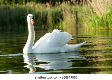 A large white swan swimming proudly near the shore of Lake Constance.