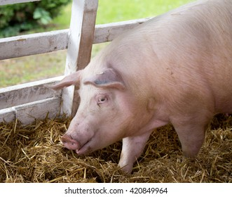 Large white swine (Yorkshire pig) standing on straw in pen with grass and greenery in background on farm