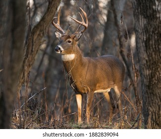 A large white tail buck standing among trees at sunset.
