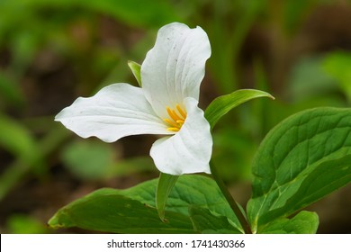 A Large White Trillium flower is blooming on the forest floor. Also known as Great White Trillium, Large-flowered Trillium, Wake-robin, and Wood Lily. Taylor Creek Park, Toronto, Ontario, Canada.