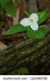 Large White Trillium growing next to a mossy log. Also known as Great White Trillium, Large-flowered Trillium, Wake-robin, and Wood Lily. Rondeau Provincial Park, Morpeth, Ontario, Canada.