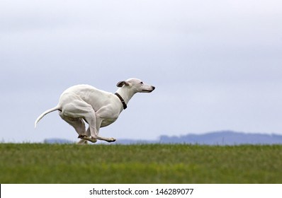 A large white whippet dog running on green grass