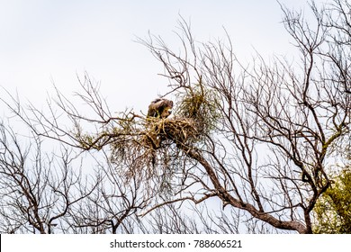 Large White-Backed Vulture sitting on its nest in Kruger National park in South Africa