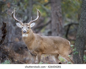 A large Whitetail Buck deer stands in the forest during the rut.