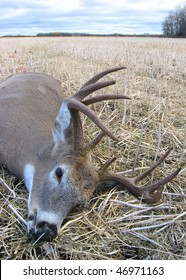 Large whitetail buck lying in a stubble field after a successful hunt