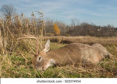 Large whitetail buck taken during deer hunting season.