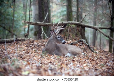 A large whitetail deer buck bedded down and resting in the forest
