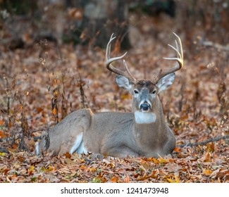 A large white-tailed deer bedded dpwm om fall leaves at the edge of the woods