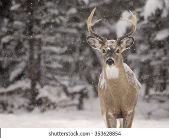 Large White-Tailed deer buck, alert, looking at the camera