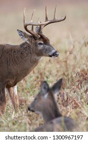 Large white-tailed deer buck with doe bedded down  in Smoky Mountain National Park