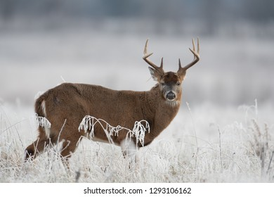 Large white-tailed deer buck in a frost covered meadow at first light.