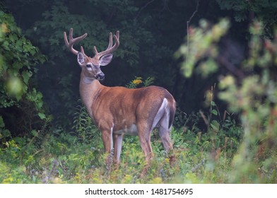 Large white-tailed deer buck on an early foggy morning with velvet antlers in summer in Canada