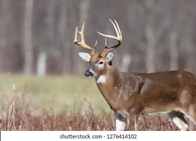 Large white-tailed deer buck in an open meadow in Smoky Mountain National Park