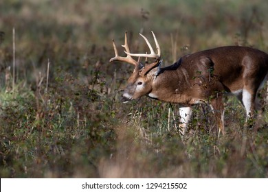 Large white-tailed deer buck in an open field in Smoky Mountains National Park