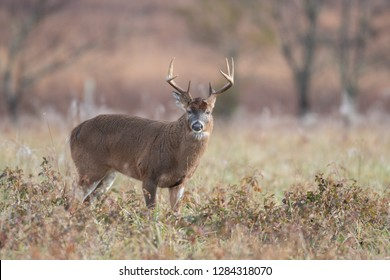 Large white-tailed deer buck standing in an open field in Smoky Mountains National Park, Tennessee