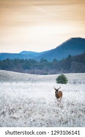 Large white-tailed deer buck standing in frost covered field before sunrise in Smoky Mountain Naitonal Park