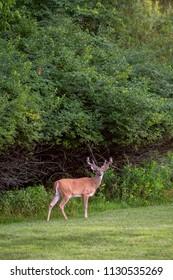 Large white-tailed deer buck with velvet antlers in summer