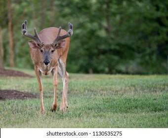 Large white-tailed deer buck with velvet antlers walking towards camera in summer