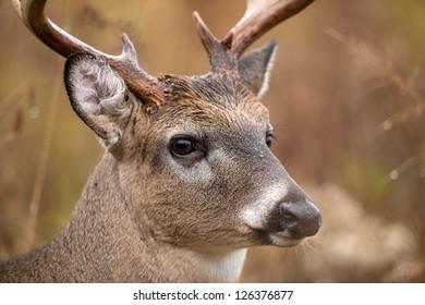 Large white-tailed deer buck walking through heavy brush in Smoky Mountain National Park