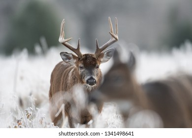 Large white-tailed deer buck watching a doe in a frost covered meadow at first light.