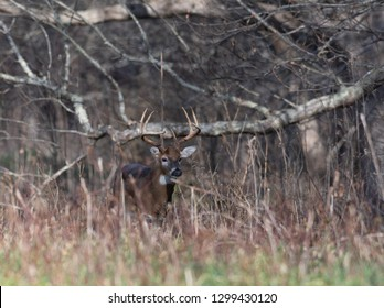Large white-tailed deer buck in the woods in Smoky Mountains National park