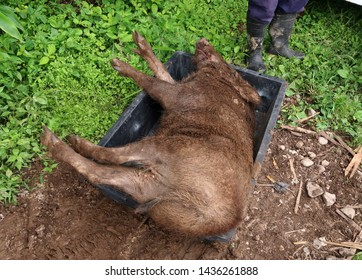 Large wild boar corpses eliminated