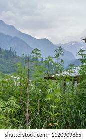 Large wild cannabis sativa growing with the himalayan mountains in the background.