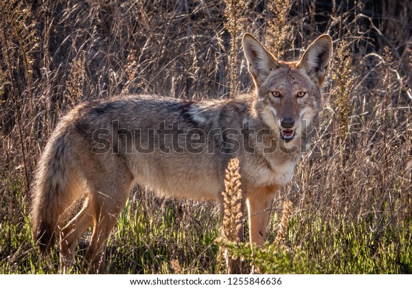 A large wild coyote (Canis latrans) stands and smiles at the photographer, in the hills of Monterey, California.