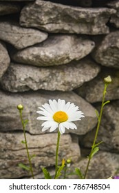 Large Wild Daisies Growing Next to a Stone Wall on Inisheer, County Galway. in the West of Ireland
