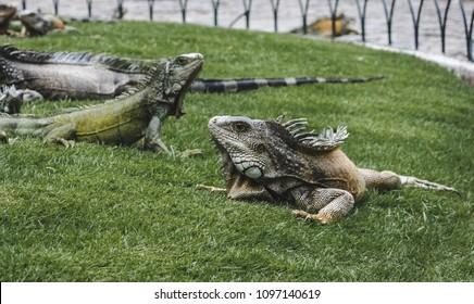 Large wild iguanas roaming free in the famous Parque Senimario, also known as Iguana Park, in Guayaquil, Ecuador
