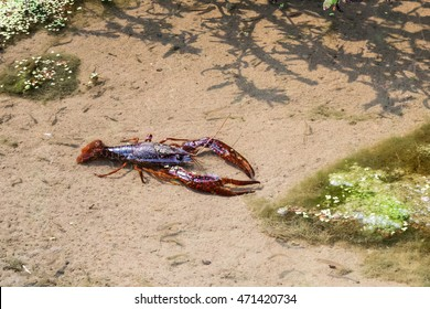 A large wild, living crawdad (crayfish) walks through water in a shallow creek in Salinas, California, together with many small fish.