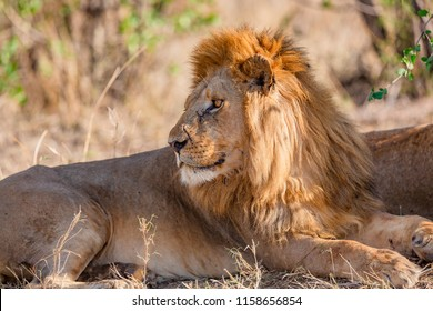 Large wild male lion rests under a tree in Africa