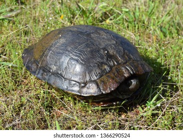 Large wild red-eared slider in Mississippi