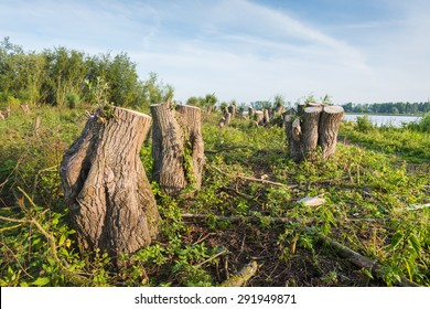 Large willow trees have been cut down on the bank of a wide Dutch river. It's early in the morning on a sunny day in summer.