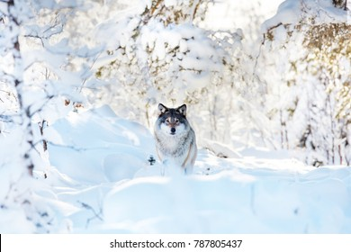 Large wolf standing in beautiful winter forest