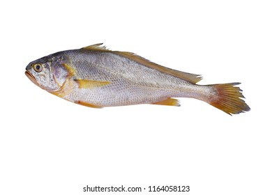 Large yellow croaker background material
