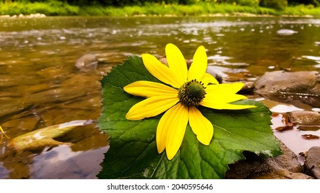 A large yellow flower on stones in a stream.
