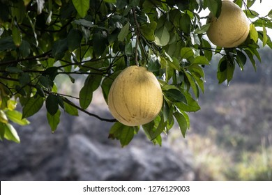 Large yellow fruit Pomelo grows on a tree. A tree with large, juicy, ripe fruits. Big beautiful Pomelo.