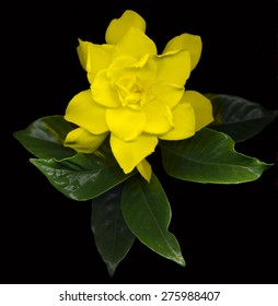 Yellow gardenia leaves images stock photos vectors shutterstock large yellow gardenia flowers with green leaves on black background mightylinksfo