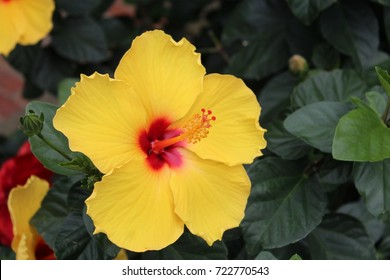 Hibiscus yellow flower red center stock photo royalty free large yellow hibiscus flower with red center mightylinksfo