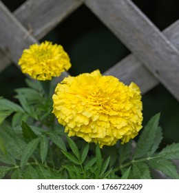 Large yellow marigold (Tagetes) in front of weathered lattice