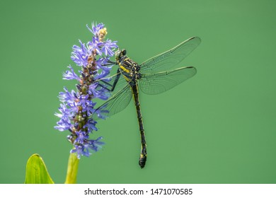 Large yellow mature dragonfly on a purple water plant close up at the wetlands on a sunny afternoon in summer
