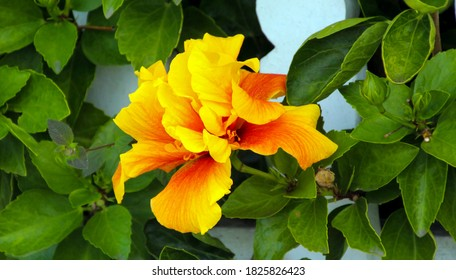 Large yellow and  orange double evergreen Hawaiian hibiscus 'Surfrider'  in autumn bloom adds a tropical splendour to the garden landscape.