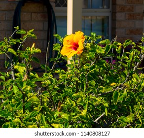 Large yellow , orange and pink evergreen Hawaiian hibiscus in autumn bloom adds a tropical splendour to the garden landscape as the days shorten.
