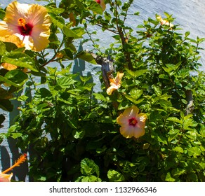 Large yellow and pink evergreen Hawaiian hibiscus in autumn bloom adds a tropical splendour to the garden landscape as the days shorten.