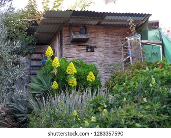 Large yellow succulent plant on sloping garden ground with pigeon roost background in Andalusian village
